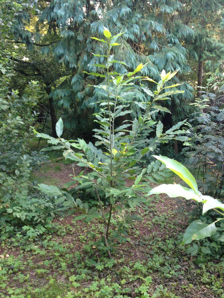 Eigen Kweek Castanea Sativa Tamme Kastanje Sweet Chestnutnursery Trees Permaculture
