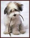 havanese are always fun!!!!!