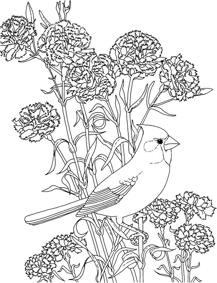 Free Printable Coloring Page...Ohio State Bird and Flower, Cardinal, Scarlet Carnation, educational printables