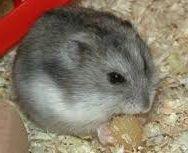 Sonhar com hamster. Significado Os hamsters ou cricetos são roedores bonitos, curiosos, mas também intrometidos que normalmente viv...