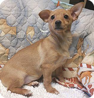 Los Angeles, CA Chihuahua/Dachshund Mix. Meet Goldie, a
