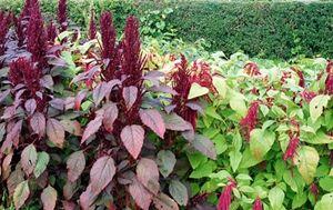 Dyrk quinoa og amaranth i din egen have