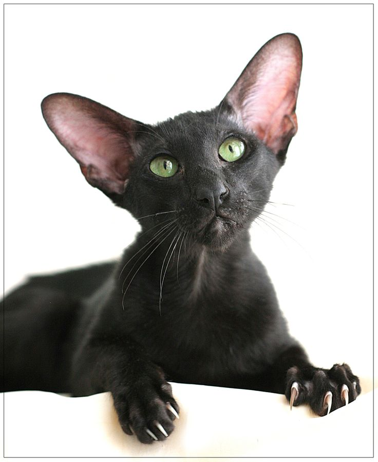 .Oriental Shorthair cat