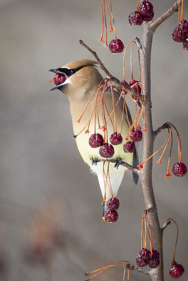 Fruit Guy by Jacques-Andre Dupont*.  (Male Cedar Waxwing)