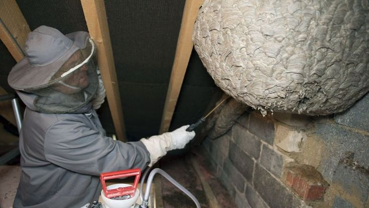 'Colossal' wasp nest found in attic | Attic flooring ...