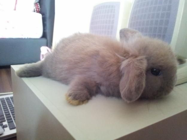 Baby Blue Tort Holland Lop - getting comfy :)