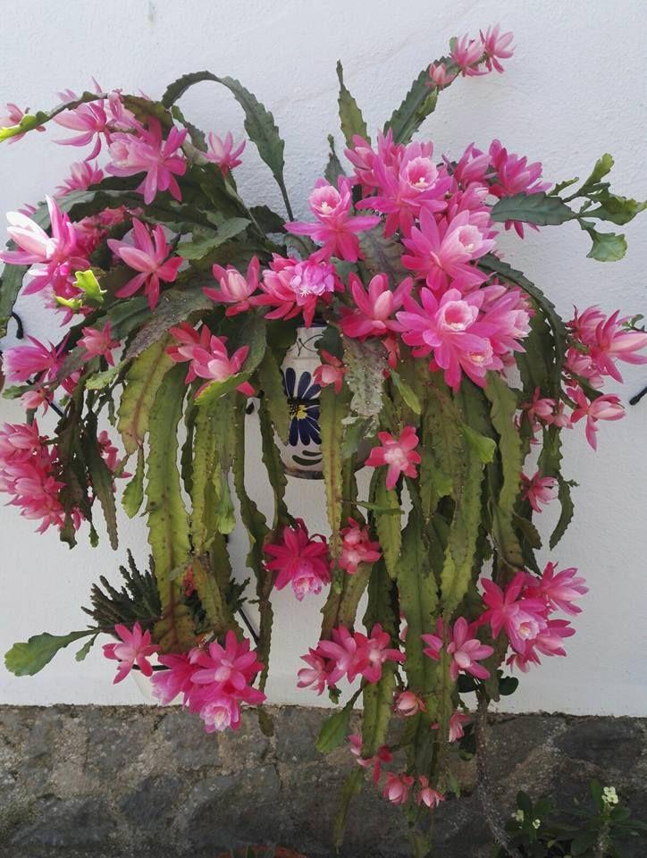 Epipphyllum cactus