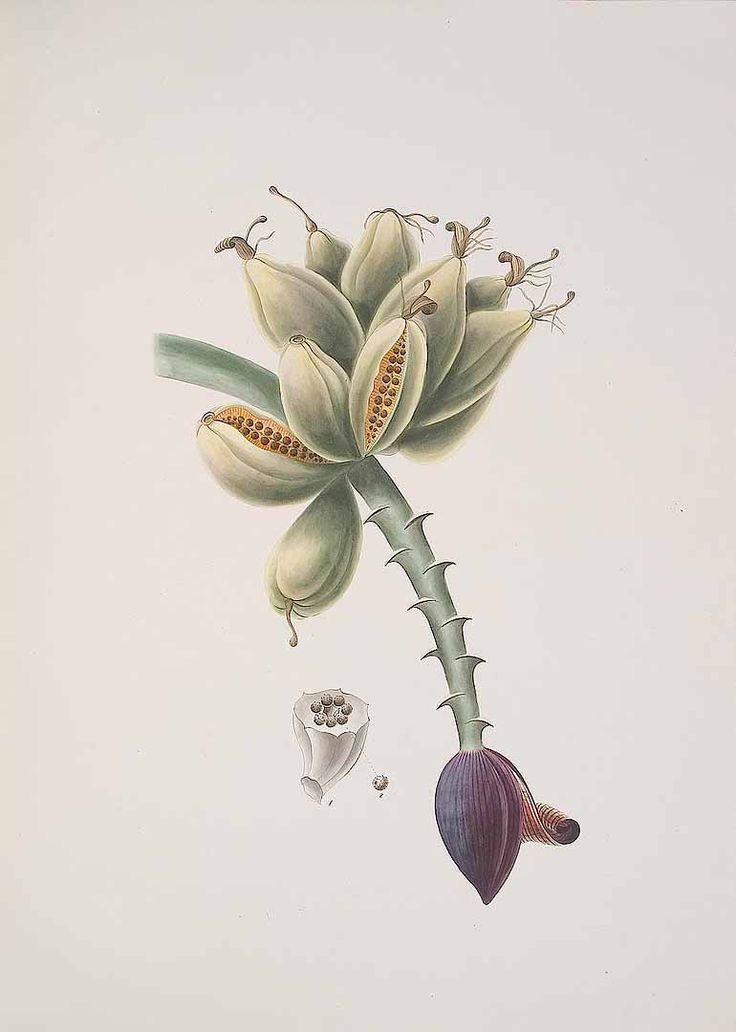 307099 Musa paradisiaca L. [as Musa sapientum L.]  / Kerner, J.S., Hortus sempervirens, vol. 34: t. 399 (1814) [J.S. Kerner]