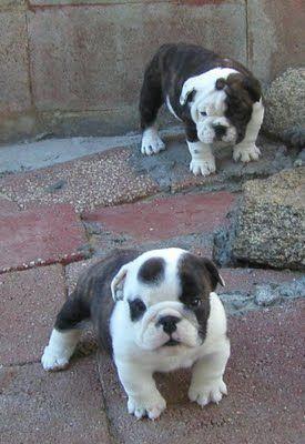 bulldog babies...