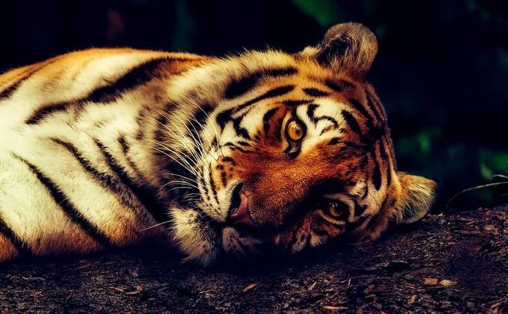 Tigris, Állati, Vadvilág, Pihenő