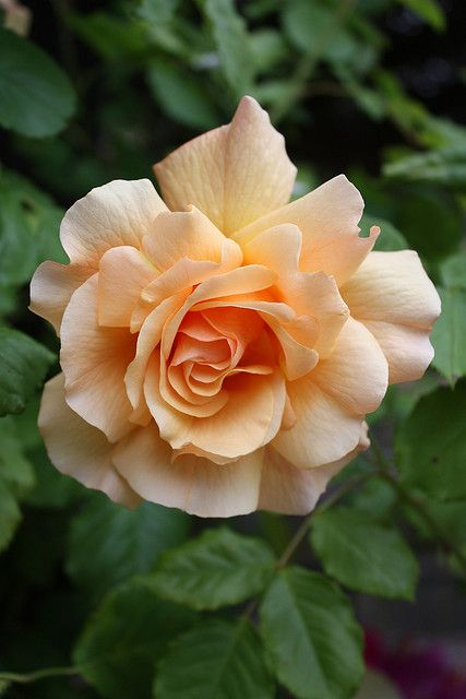 Floribunda Large-flowered Climbing Rose: Rosa 'Joseph's Coat' (U.S., 1964)