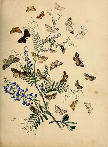 British moths and their transformations. London: W. Smith,1843-45. biodiversitylibrary.org/page/35391150