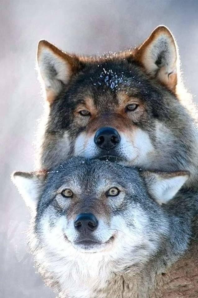 картинки про пары волков поделитесь своей историей