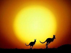 Kangaroos in the sunset