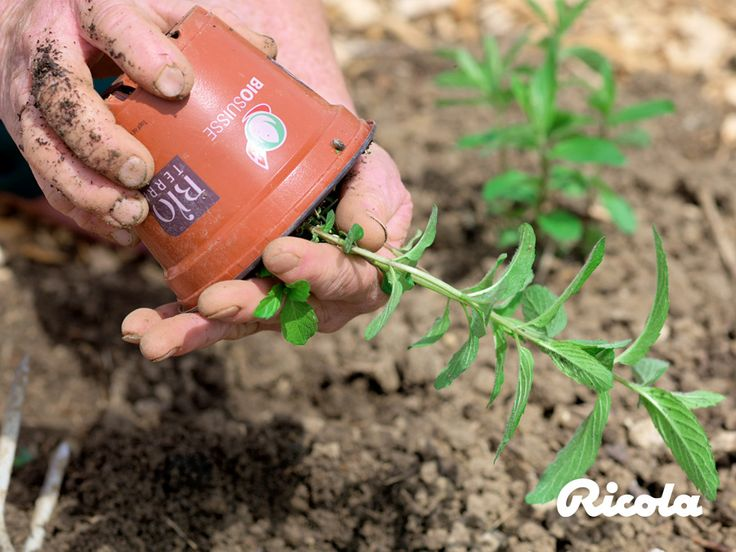 Ricola is meticulous in the cultivation of its herbs, taking a gentle but carefully measured approach. No wonder – herbs are the essential basis of all Ricola products. #Herb #Planting #Ricola