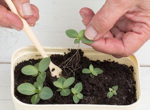 Выращивание эустомы из семян в домашних условиях