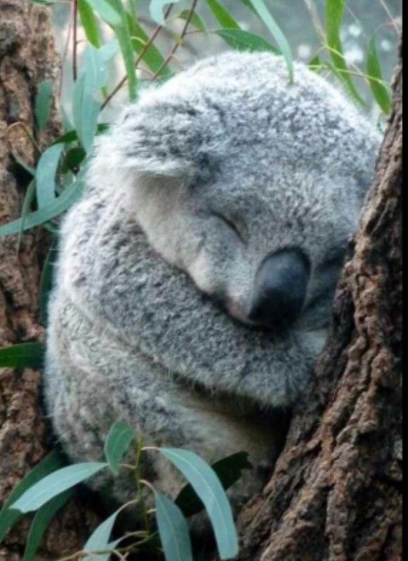 Aww cute sleeping koala bear :-) | Nature's most awesome ...