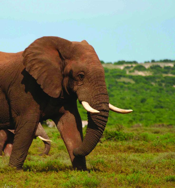 Elephant Safari in Addo Elephant Park, South Africa with SA Surfari