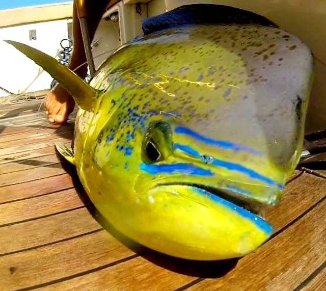 This photo of a dolphinfish shows its' amazing colors and markings. A beautiful fish - no wonder it's a favorite of anglers everywhere!