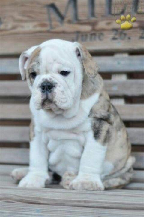 Fantastic English Bulldog Chubby Adorable Dog - 72d5ff7c46667228c3ebd11d18bc91fa--cute-bulldogs-baby-bulldogs  HD_4510076  .jpg