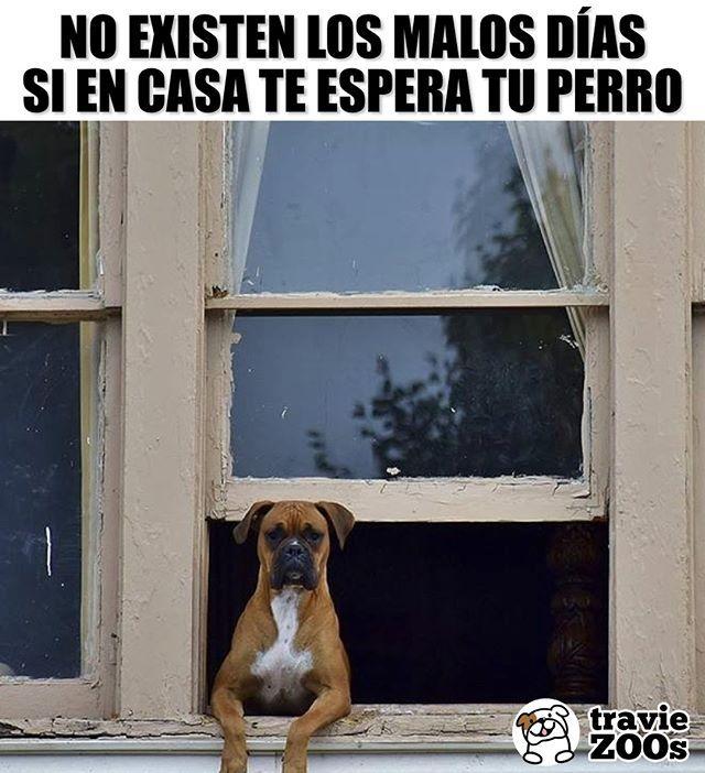 Y Hoy Es El Dia Menos Malo Del Mundo Dog Perro Ventana Mascotas Casa Fotos De Perritos Tiernos Imagenes De Perros Memes Perros