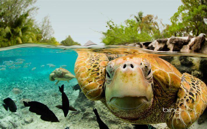 Lataa kuva Vihreä kilpikonna, ocean, Bora Bora, Ranskan Polynesia, trooppisia saaria, palmuja
