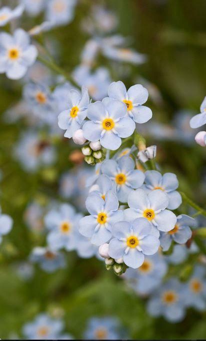 Myosotis #fleurs #bleues #violettes