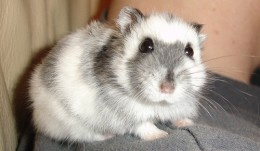 In the  photo is a beautiful Russian Dwarf Hamster. Do Your Own Research So You'll Know What To Do With A Sick Hamster