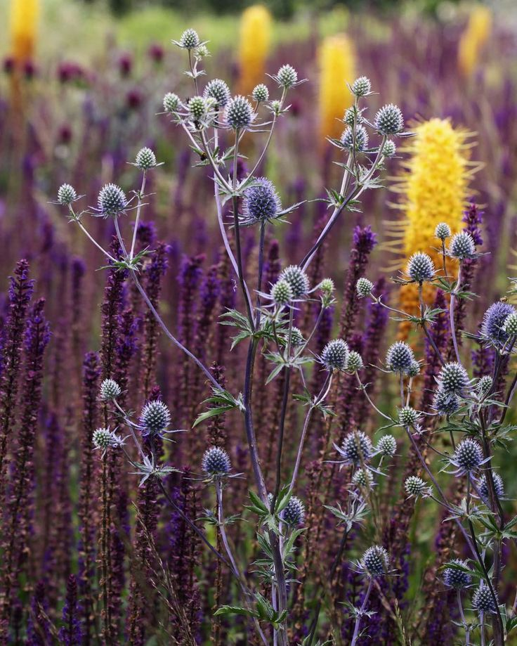 "Arjan Boekel (@boekelgardens) on Instagram: ""Burst of June color. Eryngium on a backdrop of Salvia, dotted with warm yellow Eremurus.…"""