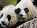 Week-old giant panda dies in US National Zoo