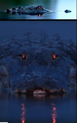 An alligator has a tapetum lucidum at the back of each eye, which reflects light back into the photoreceptor cells to make the most of low light. The color of eyeshine differs from species to species, but in alligators it glows red. The length of the alligator can be approximated by judging the distance between the eyes, making this alligator very long.