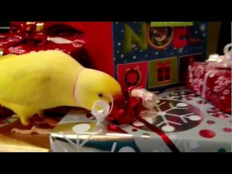 Bowie Likes Christmas Ribbons:) | Ringnecks & Alexandrines ...