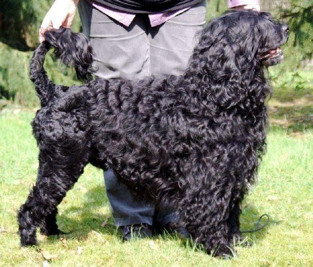 Португальская водяная собака (Portuguese Water Dog)