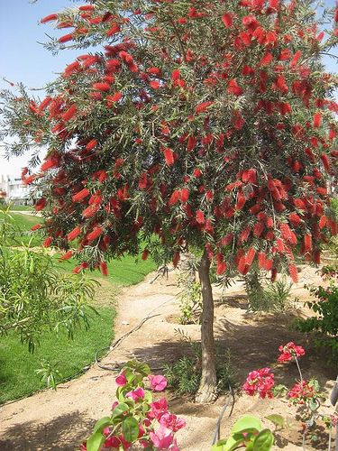 Bottle brush - 15g (49.95) Grow to 10-15ft tall which will take 4-5 years.  Bring in a lot of butterflies and hummingbirds.