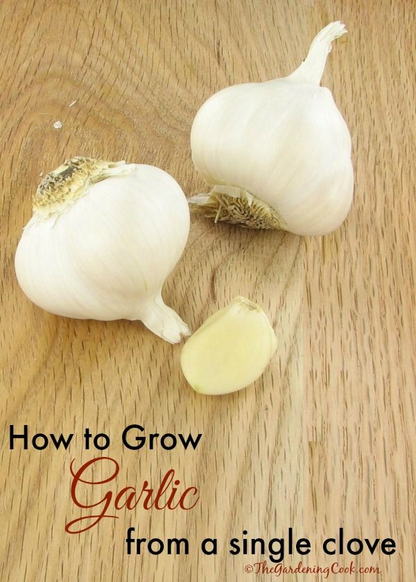 How to grow garlic from a single clove - use organic garlic. Very simple and easy to do. See how http://thegardeningcook.com/growing-garlic/