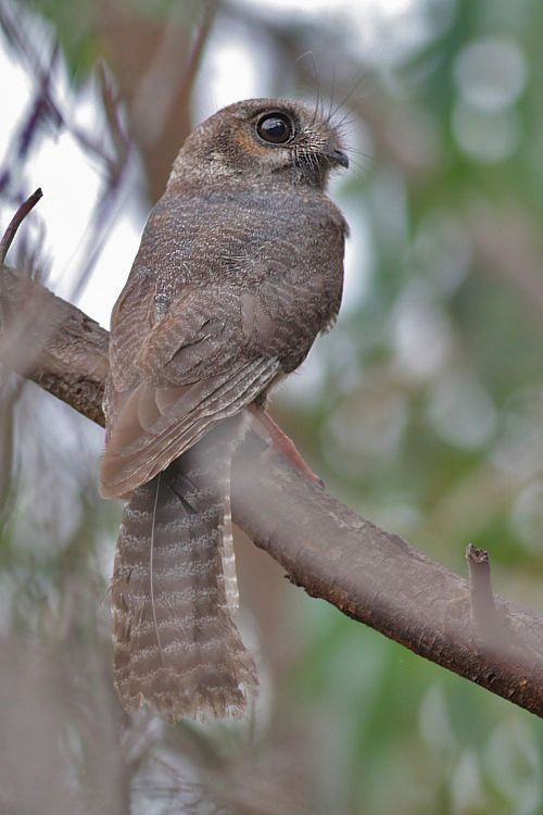 Australian Nightjar, You Yangs Regional Park...... too cute!