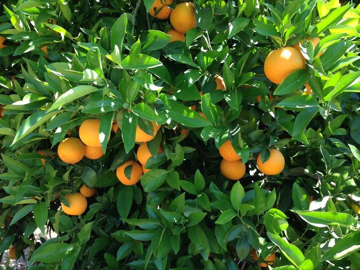 Ya quedan pocas naranjas de la variedad valencia en el campo. Estas son algunas de ellas.