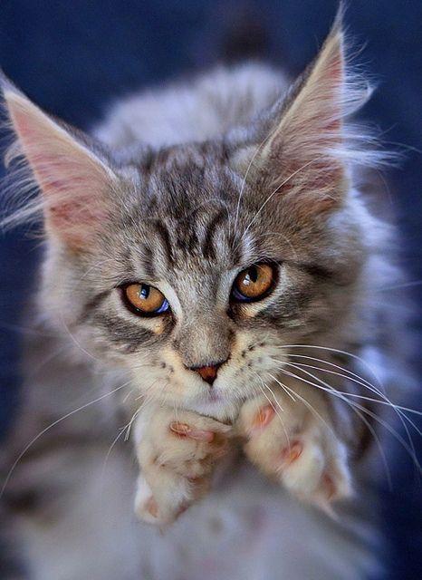 Gief cookie please, I is good kitten