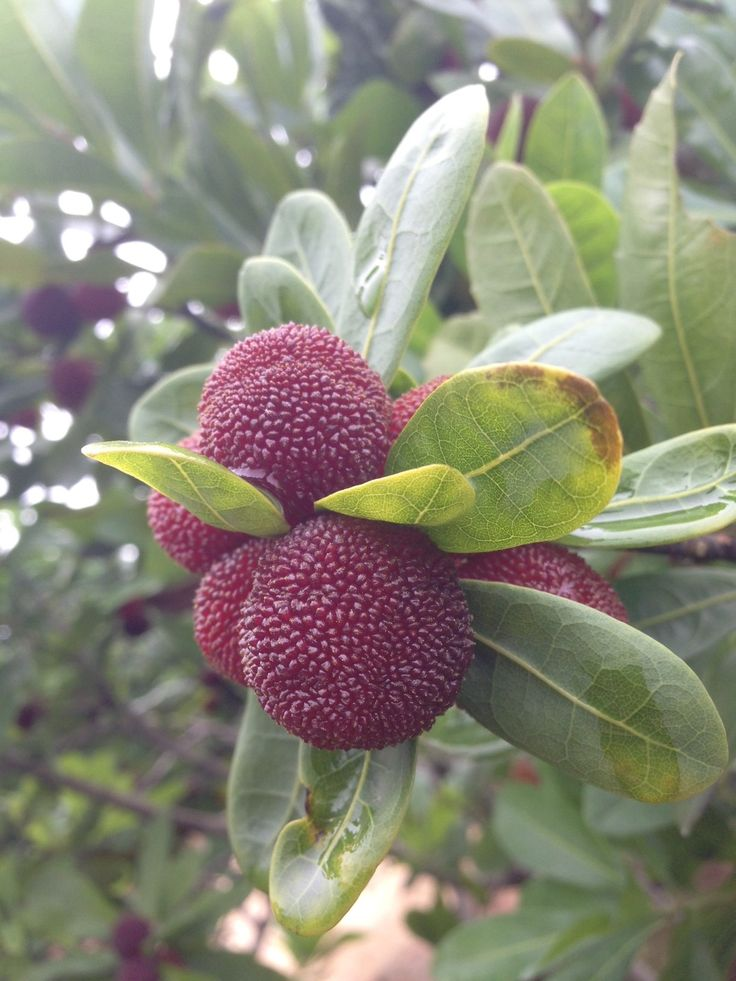 how to eat chinese bayberry fruit