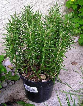 Como plantar alecrim | hortas.info
