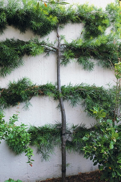 An outeniqua yellowwood (Podocarpus falcatus) has been espaliered with patience and passion.