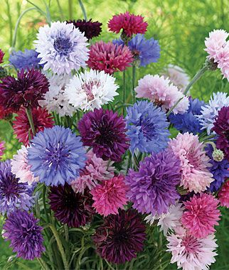 Cornflower 'Tall Double Mixed Colors' is a fragrant mixture of well-doubled flowers on long, strong stems.
