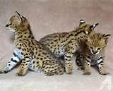 serval cats for sale - Yahoo Image Search Results