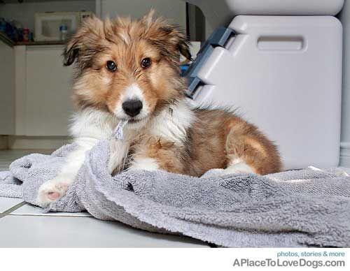 i <3 u little jaxie.: Adorable I, Animal Pics, Furry Sweet, Big Bath, Bath Towels, Animal Adorable, Sweet Shelti, Cute Dogs, Bath Time