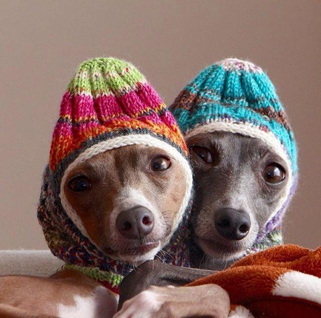 Italian greyhounds Fin & Milan