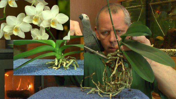 Phalaenopsis Wurzelschnitt der Orchidee