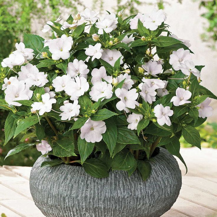 Impatiens White SunPatiens Annual plants are available at jacksonandperkins.com