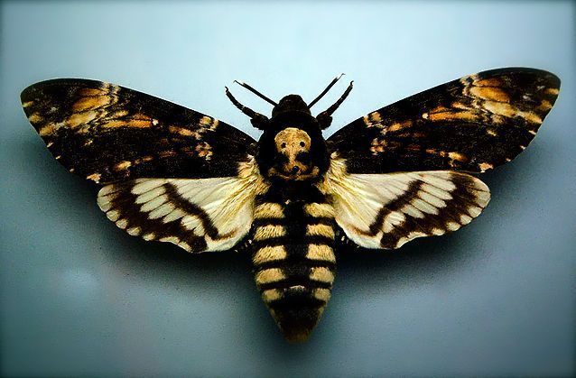 Love Death's Head Moths I want one tattooed to finish off my chest piece up on my neck.