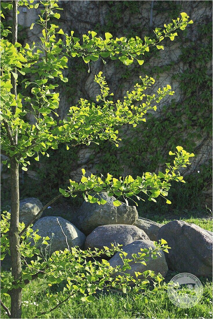 nasze wydziałowe miłorzęby coraz bardziej zielone #miłorząb #gingko #gingkotree #drzewo #roślinaozdobna #WOBiAK #SGGW