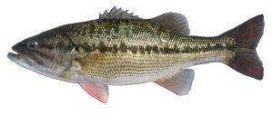 Kentucky state fish the spotted bass everything for Ohio state fish